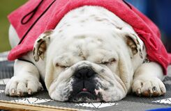 Spoiled pampered sleeping sleepy English British Bulldog pet dog