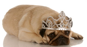 Spoiled pug. Spoiled dog - pug dressed up with tiara Stock Photo