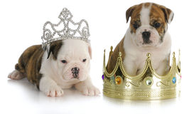 Spoiled puppies Royalty Free Stock Photo