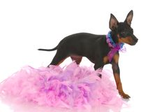 Spoiled puppy. Toy manchester terrier puppy among pink feathers on white background Stock Image