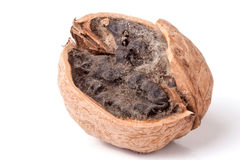 Spoiled walnut with mold isolated on white background closeup Royalty Free Stock Photo