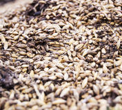 Spoiled wheat Stock Photography