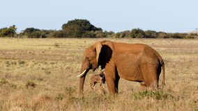 Spokój - afrykanina Bush słoń Fotografia Stock