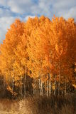 Spokane, Washington aspens Royalty Free Stock Photos