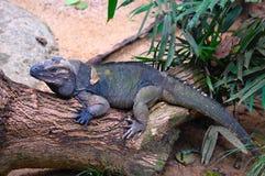 Spokojna Zielona iguana zdjęcie stock