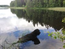 Spokojny czarny kostrzewiasty pies relaksuje w jeziorze Obrazy Stock