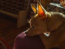 Spokojny czerwony chihuahua osamotniony w domu Obraz Royalty Free