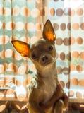Spokojny czerwony chihuahua osamotniony w domu Obrazy Royalty Free