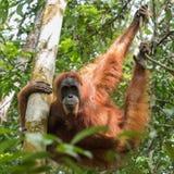 Spokojny dorosły orangutan obwieszenie na drzewnych kończynach i demonstruje aga Fotografia Royalty Free