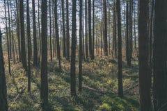 spokojny i pokojowy sosna las z zielonym lasowym łóżkiem - rocznika retro ekranowy spojrzenie zdjęcia royalty free