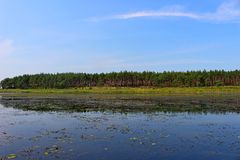 Spokojny jezioro na tle sosnowy las Obraz Stock