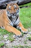 Spokojny męski tygrys Zdjęcia Royalty Free