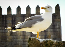 Spokojny seagull umieszczający na skale Obrazy Royalty Free