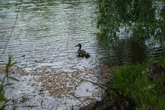 Spokojny staw Spokojny życie dzikie kaczki Zdjęcie Stock