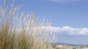 Spola att blåsa den Ammophila arenariaen, art av gräs arkivfilmer