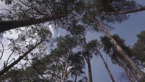 Spola att blåsa och att prassla trädfilialer i skogen stock video