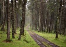 Spolande smutsgrusväg till och med den soliga gröna pinjeskogen exponerad av solstrålar till och med mist arkivbild