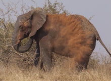 Spolverata dell'elefante Fotografie Stock