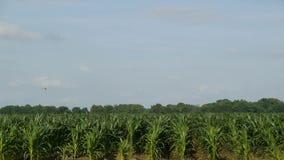 Spolveratore del raccolto sopra il campo di grano archivi video