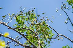 Spondias bipinnata fruit on tree. It is a perennial shade of gray leaves composed of feathers. Endemic to Thailand. Find by limest. One or deciduous forest stock photo