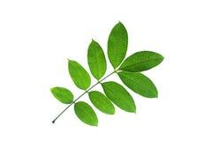 (Spondias pinnata (L. f.) Kurz), leaf form and texture Stock Images