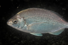 Spondyliosoma cantharus - Black sea bream stock photo