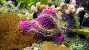 Sponge and Brittle star in coral Stock Photos