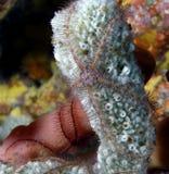 Sponge brittle star (ophiothrix suensonti) Royalty Free Stock Image