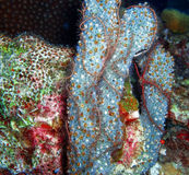 Sponge Brittle Stars on Branching Vase Sponges, Bonaire, Caribbean Stock Photo