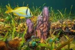 Sponge with brittle stars and fish Caribbean sea. A branching tube sponge covered by brittle stars with a tropical fish porkfish underwater in the Caribbean sea royalty free stock photo