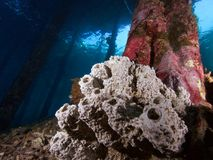 Sponge encrusted jetty in Raja Ampat. Sponge encrusted jetty pilings with the walkway of the jetty visible through the surface of the water above. Raja Ampat Royalty Free Stock Photography