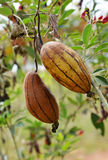 Sponge Gourd brown. On tree Stock Images