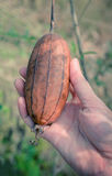 Sponge Gourd brown. On tree Royalty Free Stock Images