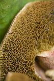 Sponge like mushroom gills Royalty Free Stock Image