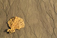 A fan shaped sponge washed up on a beach royalty free stock image