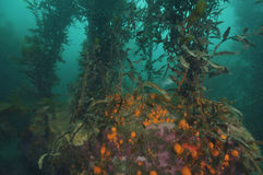 Sponges on the bottom of kelp forest Stock Photography