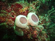 Sponges and coral. Twin pink Sponge stock photo