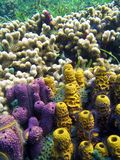 Sponges and coral. Purple and yellow sponges with white coral in Bocas del Toro Royalty Free Stock Photography