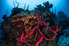 Sponges and Reef in Caribbean Stock Images