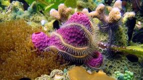 Spons en Brosse ster in koraal Stock Foto's