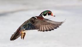 Sponsa AIX деревянной утки принимая полет Стоковое Изображение RF