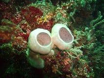 Sponsen en koraal Stock Foto