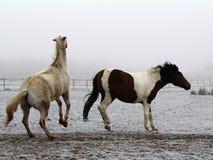 Spontaan vang van twee paarden in een weiland Royalty-vrije Stock Afbeelding