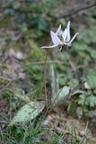 Spontan blomma med purpurfärgade stamens Arkivfoton