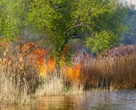 Spontaneous uncontrolled spread of fire in the reeds. royalty free stock image