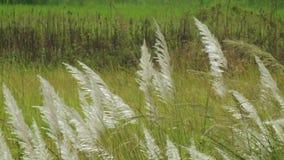 Spontaneum del Saccharum de la hierba de Kans, en Kolkata, Bengala Occidental, la India almacen de video