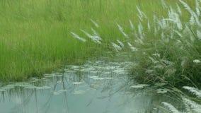 Spontaneum del Saccharum de la hierba de Kans, en Kolkata, Bengala Occidental, la India almacen de metraje de vídeo