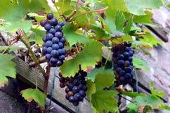 Spontant växa för druvor i trädgården av ett hus royaltyfri bild