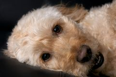 Spoodle. A portrait shot of a spoodle, a cross between a spaniel and poodle Royalty Free Stock Images
