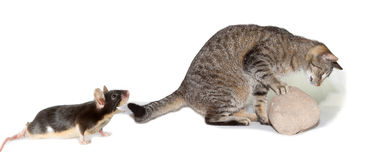 Spoof of cat hunting a mouse Royalty Free Stock Image